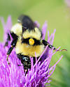 Pollen sack? - Bombus fervidus