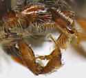 Micracis lignator - female