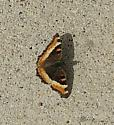 ? Milbert's Tortoiseshell (Aglais milberti)