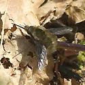 Bombylius species? - Bombylius major