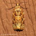 Lodgepole needletier moth - Hodges#3603 - Argyrotaenia tabulana