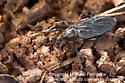 Unknown - Bibio femoratus - female