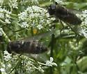 Are these Stonemyia? - Stonemyia rasa