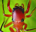 Ant-Mimicking Salticid - Peckhamia
