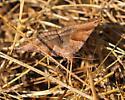 Caenurgina - Caenurgina crassiuscula