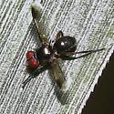 Catharosia nebulosa - Small Fly - Catharosia nebulosa