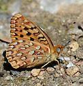 Coronis Fritillary (?) - Speyeria