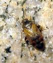 Plant Bug  - Psallus variabilis