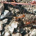 ID for ants in a fire road? - Myrmecocystus wheeleri
