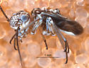 Camelopsocus male - Camelopsocus - male