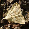 Moth failing to hide - Chytolita morbidalis