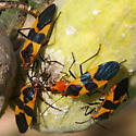 What are these? - Oncopeltus fasciatus