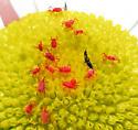 Free-living red mites on daisy - Balaustium