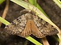 Gypsy Moth - Hodges#8318 - Lymantria dispar