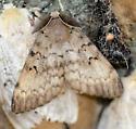 Gypsy Moth - Lymantria dispar - male