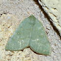 Please help us to identify this moth. - Chloraspilates bicoloraria - female