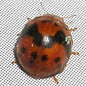 lady beetle, what species? - Subcoccinella vigintiquatuorpunctata