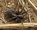 Spider, brown and orange - Arctosa alpigena