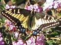 Which Swallowtail? - Papilio machaon