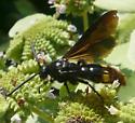 Unidentified insect - Scolia dubia