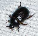 scarab - Tomarus relictus