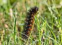 caterpillar - Estigmene acrea