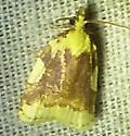 Cenopsis niveana  - Cenopis niveana
