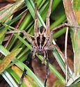 wolf spider of some kind maybe - Rabidosa rabida