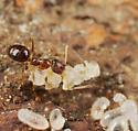 Ant ID - Nylanderia faisonensis