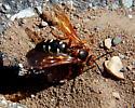 Very Large Very Loud Hornet/Wasp? digging nest in crack in parking lot - Sphecius speciosus - female