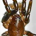 ground spider - Sosticus insularis - male