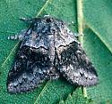 Common Gluphisia female - Gluphisia septentrionis - female