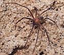 spider - Loxosceles reclusa - male