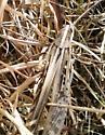 grasshopper id - Schistocerca americana