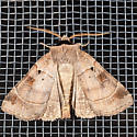 Pale-banded Dart - Agnorisma badinodis - male
