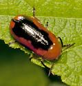 Unknown Coleopteran - Anomoea nitidicollis