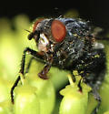 unknown black fly