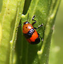 black and red Chrysomelid? - Lexiphanes guerini