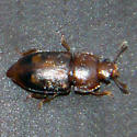 Sap-feeding Beetle - Epuraea corticina - female