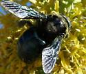 Unknown Carpenter Bee - Xylocopa californica