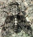 fly - Tabanus venustus - female