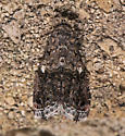 unknown moth - Tripudia luxuriosa