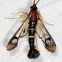 Dogwood Borer Moth - Synanthedon scitula