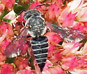 Cuckoo Leaf-cutter Bee - Coelioxys