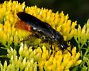 Unknown Scoliid wasp