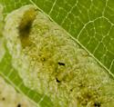 Elm leaf miner - Agromyza aristata