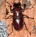 Lucanus capreolus  - Lucanus capreolus