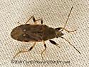 9048205 bug - Perigenes constrictus