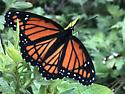 Monarch - Limenitis archippus