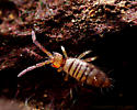Hairy Orange and Brown Springtail - Entomobrya atrocincta - female